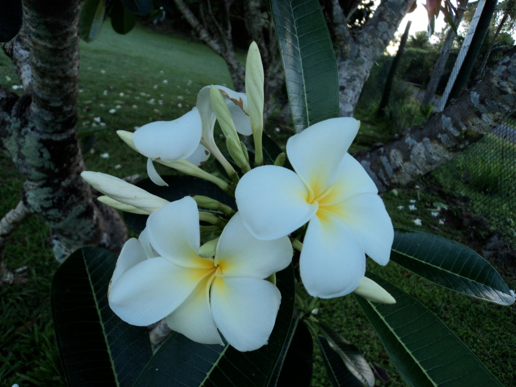 Big frangipani presence on the island. (Photo by Louise Graber)